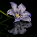 Bluebell reflection