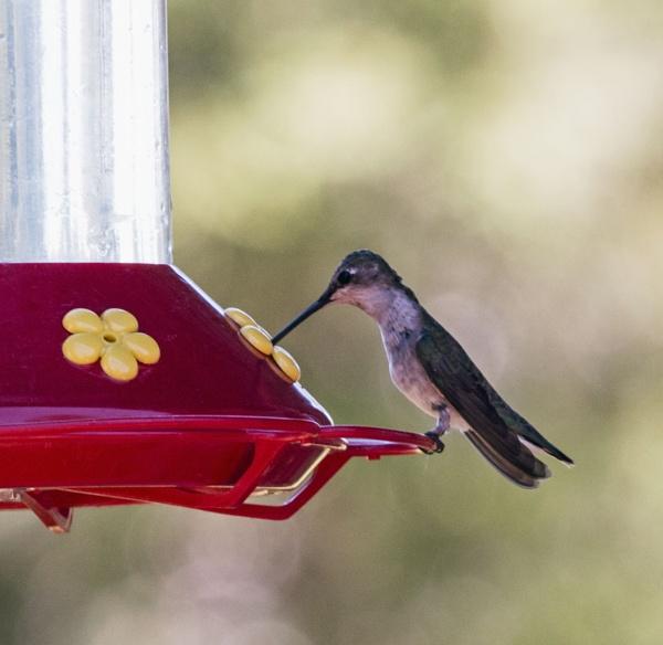 humming bird on feeder by Janetdinah
