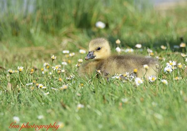 Chick by Glenn1487