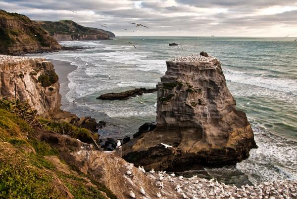 Muriwai Gannets NZ by barryyoungnz
