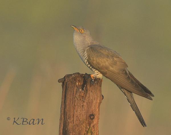 Cuckoo in Dawn light by KBan