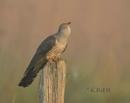 Cuckoo Calling by KBan