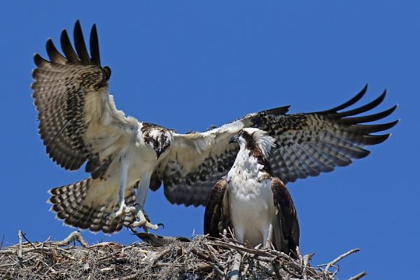 Osprey on Nest by BHSDallas