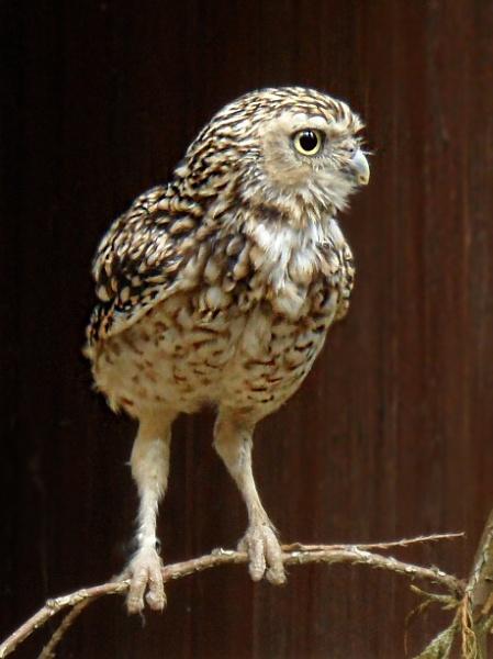 Little Owl by zirgle
