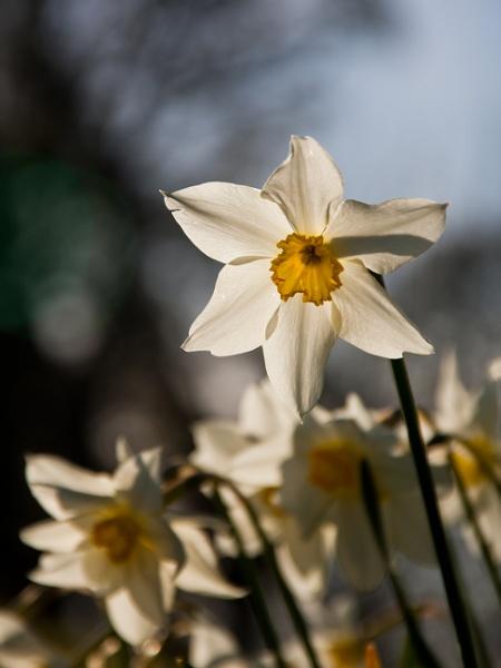 White Daffodill by flatfoot471