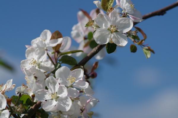 May Blossom by Kako