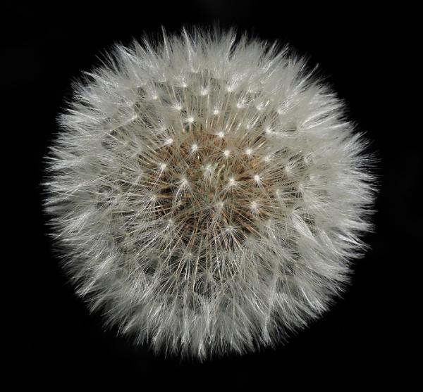 Dandelion by colinryan