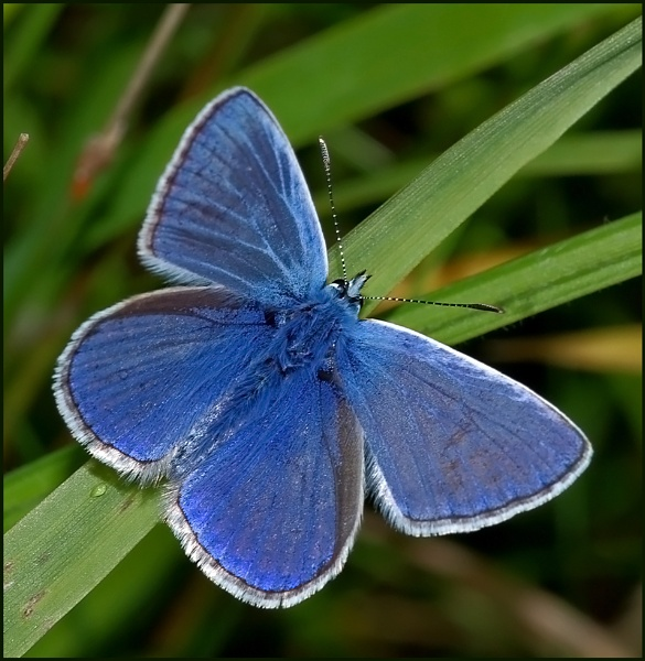 Common Blue(m) - Open Wings.. by Badgerfred