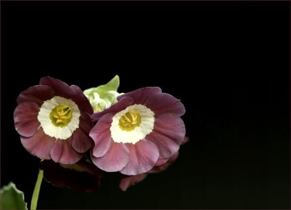 Polyanthus by helenlinda
