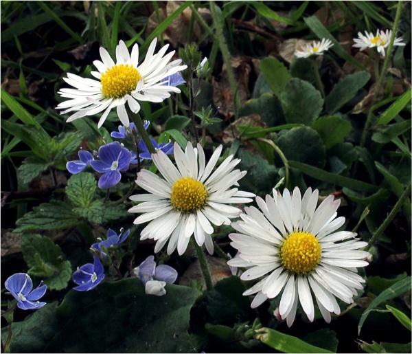 Daisy by helenlinda