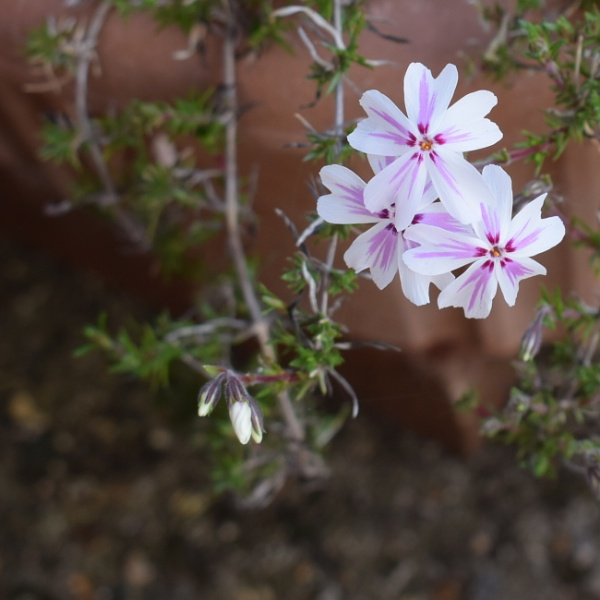 PHLOX  (SUBULATA CANDY STRIPE) by thetailor