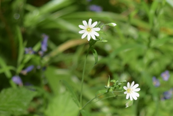 STITCHWORT AND BUDS by thetailor