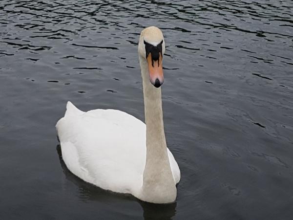 Swan by r0nn1e