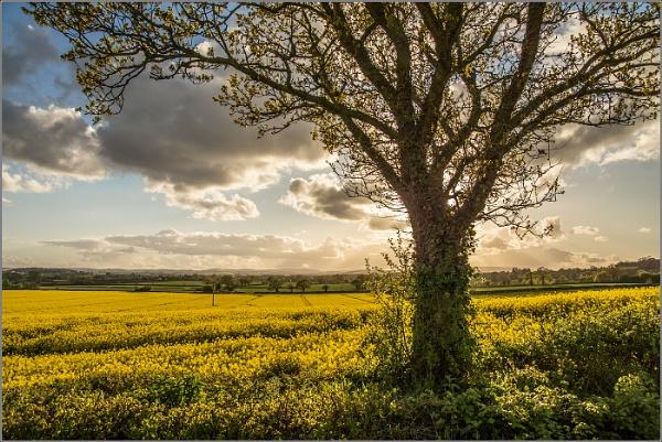 Fields of Rapeseed 2 by Otinkyad