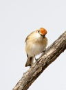 Inqisitive Female Red-capped Robin by boydmace