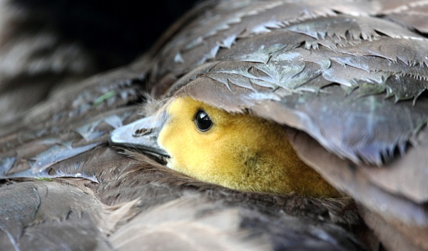 Gosling under mothers wing by Bigdenbo