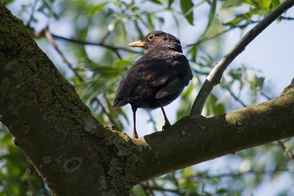 Bye Bye Blackbird by alant2