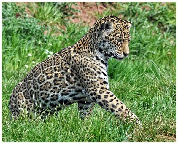 Jaguar Cub at play by PhilT2