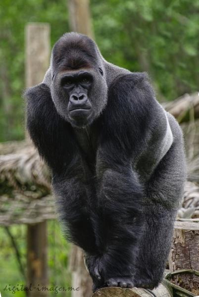 Gorilla by Alan_Baseley