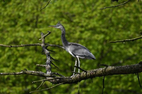 Gray Heron by ShaunsPics