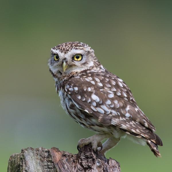 Little Owl by tony_hoops