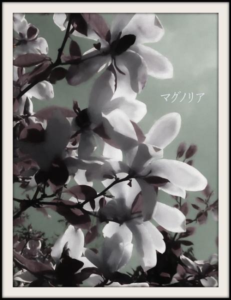 Magnolia by Philip_H