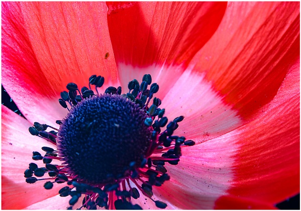 Anemone 2 by capto