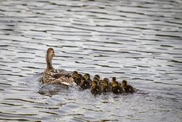 A Dozen Ducklings