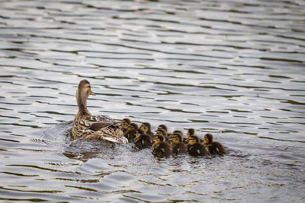 A Dozen Ducklings by Philpot
