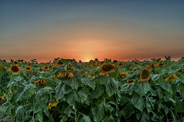 Subset Over a Sunflowers Field by ubaruch