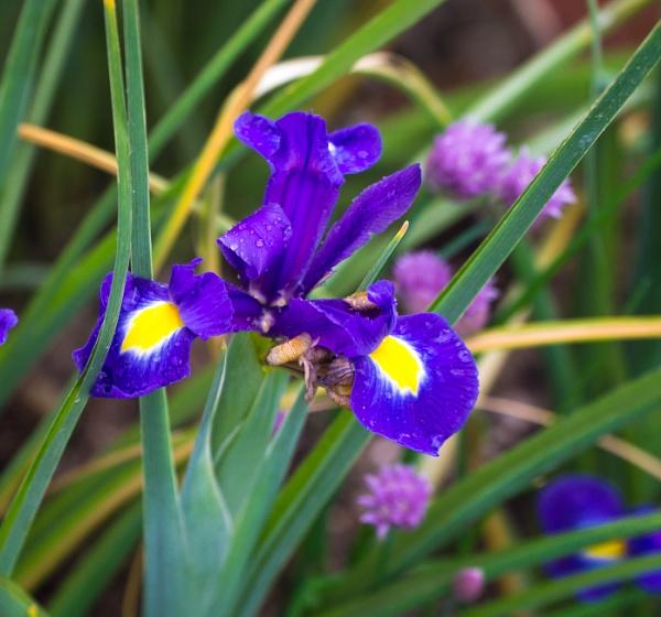 Iris in the rain by bucket