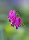 Fringed Bleeding Hearts by taggart