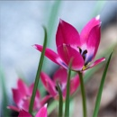 Turkish Tulip by taggart