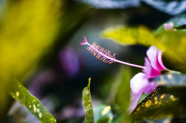 Hibiscus rosa-sinensis by sosi
