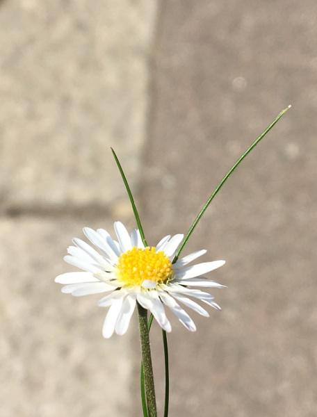 Daisy by Katmc3