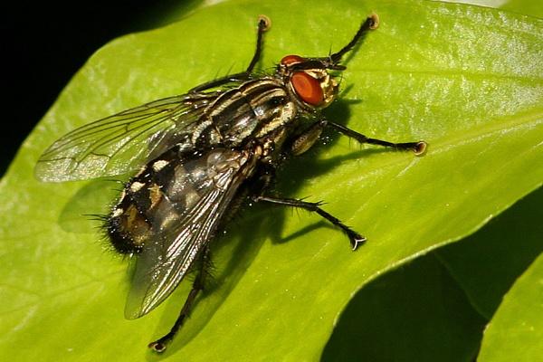 Flesh Fly-Sarcophaga carnaria. by bobpaige1
