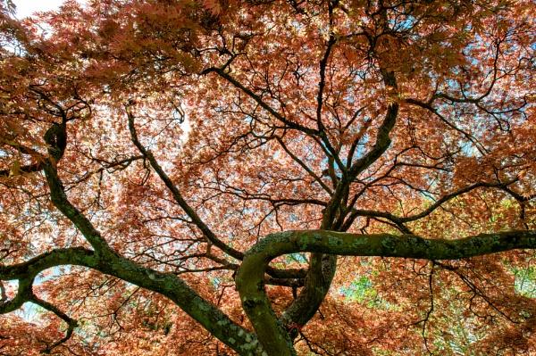 Stunning Acer by NevJB