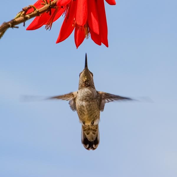 Hummingbird by Les_Cornwell