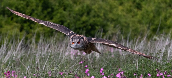 eagle owl by peterjay80