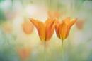 Tulip Meadow by janedibnah