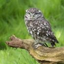 Little Owl by Leedslass1