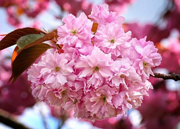 """""""Cherry Blossom""""."""