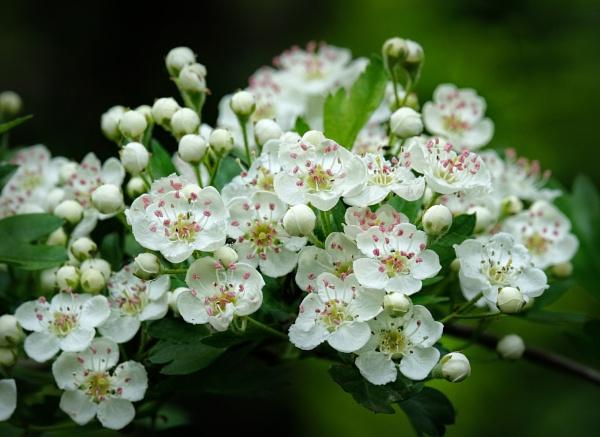 "\""Hawthorn Blossom\"". by adrianedwa"