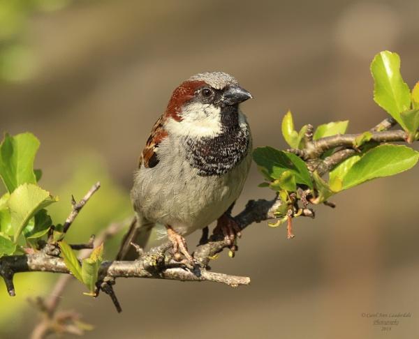 Mr Sparrow by canoncarol
