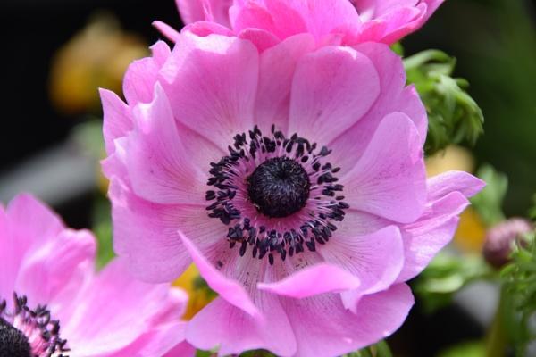Anemone coronaria (Harmony ) by davyskid
