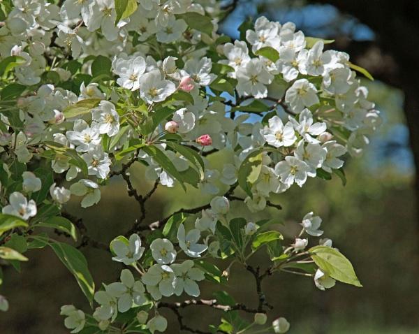 Apple Blossom by Janetdinah