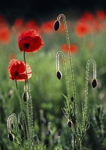 Common Poppies by leftie