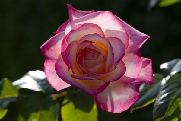 Breakfast Rose ! by bornstupix2