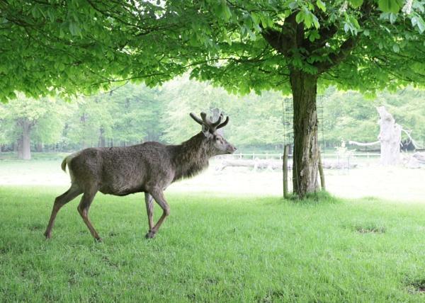 Deer by loves2travel