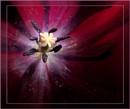 Deep in the Heart of a Tulip by pamelajean